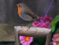 Sweet Robin Fly!