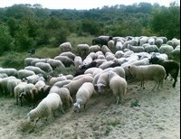 Though the Flock is Destroyed