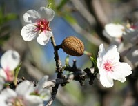 The Lesson of the Almond Branch